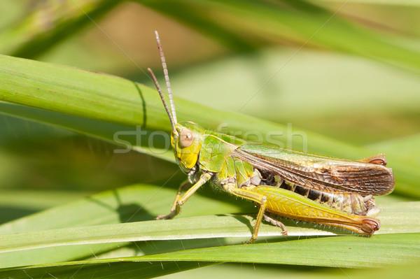 A grasshopper on the grass Stock photo © michaklootwijk