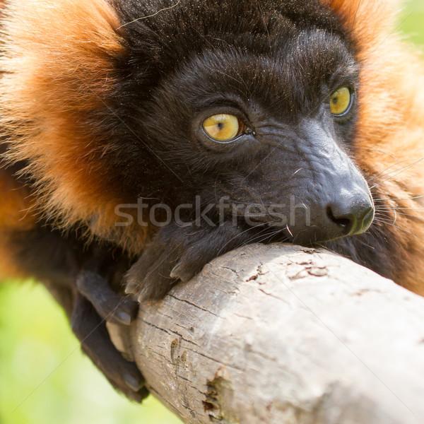 Corona maki assonnato zoo legno Foto d'archivio © michaklootwijk