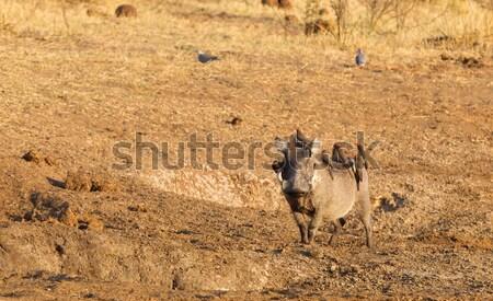 Stock photo: Large water buffalo peeing