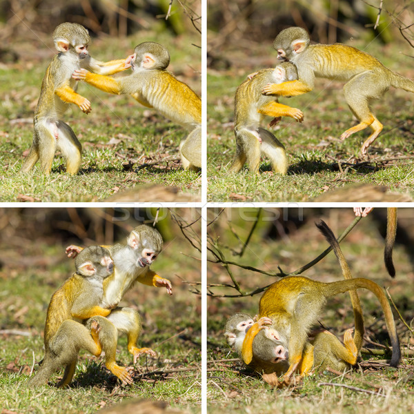 Two young Squirrel Monkeys (Saimiri boliviensis) fighting Stock photo © michaklootwijk