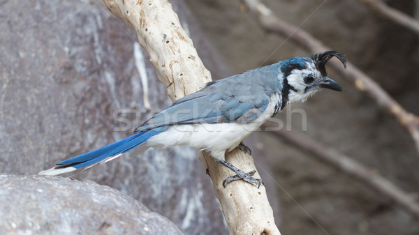 Blue bird (Calocitta formosa) perching on a branch Stock photo © michaklootwijk