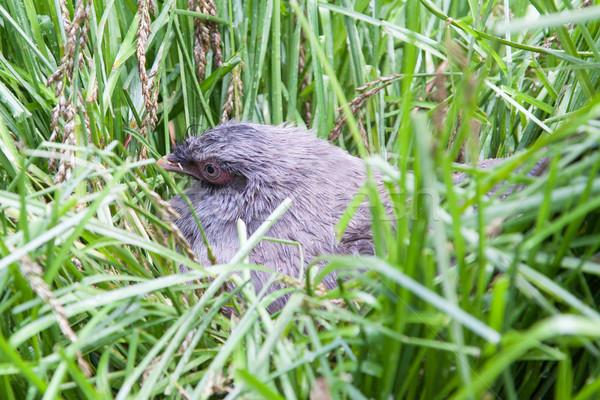 Stock foto: Vogel · Nest · Eier · Objekt · Stroh · erschossen