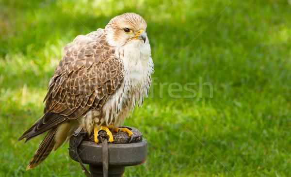 A falcon in captivity Stock photo © michaklootwijk