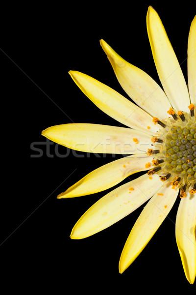 黄色の花 孤立した 黒 花 春 自然 ストックフォト © michaklootwijk