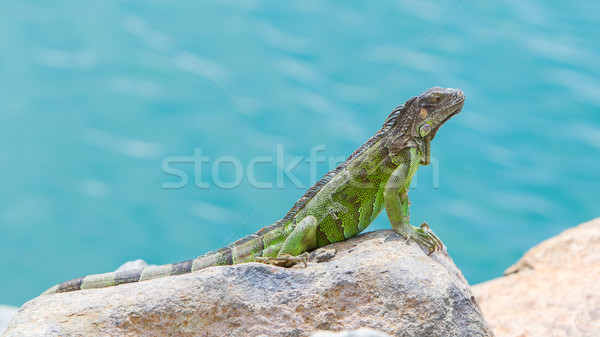Groene leguaan vergadering rotsen caribbean kust Stockfoto © michaklootwijk