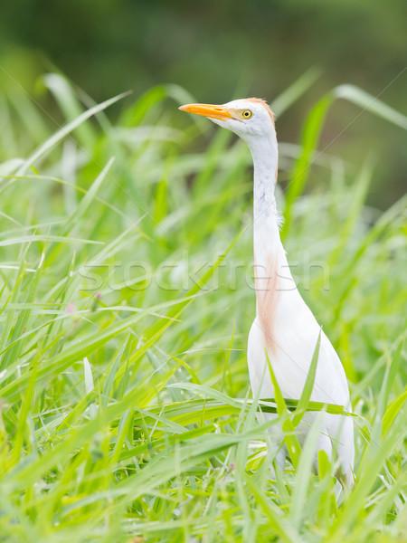 Bovini occhi uccello rock bianco african Foto d'archivio © michaklootwijk