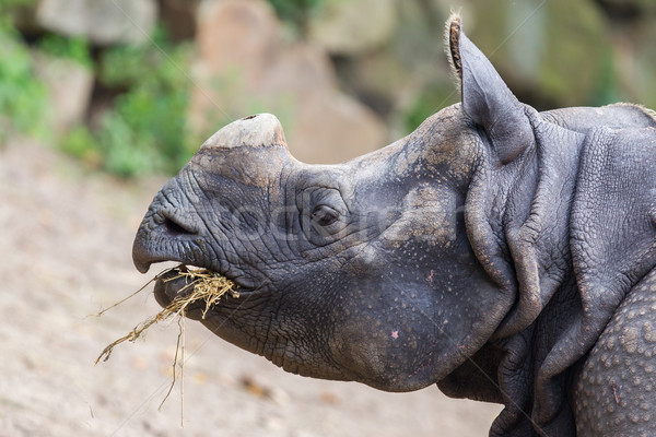 Close-up of an Indian rhino  Stock photo © michaklootwijk