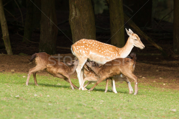 A fallow-deer is feeding Stock photo © michaklootwijk