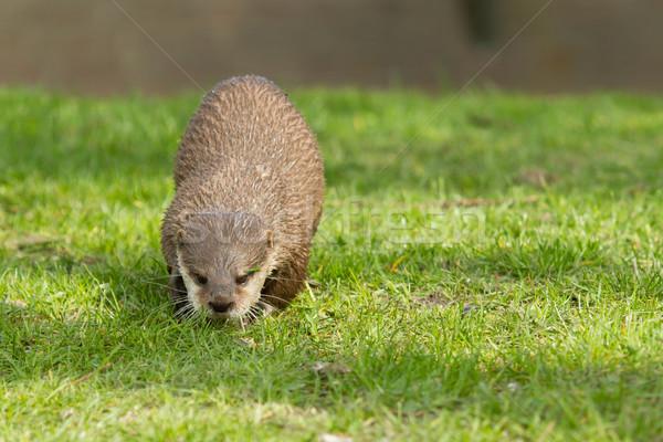 An otter Stock photo © michaklootwijk