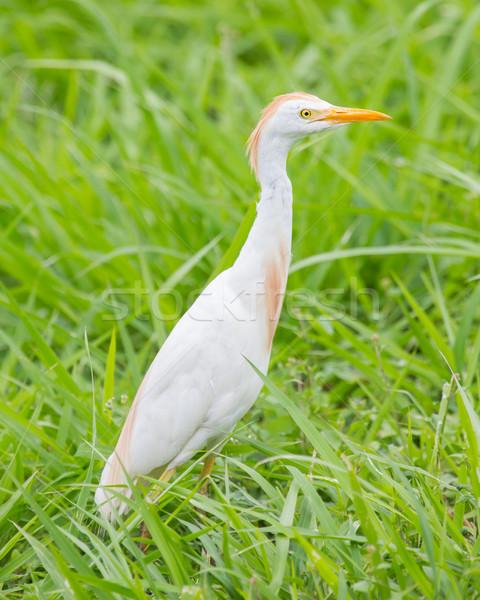 Cattle egret (Bubulcus ibis) Stock photo © michaklootwijk