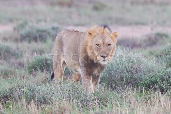 ライオン 徒歩 雨の 平野 自然 木 ストックフォト © michaklootwijk