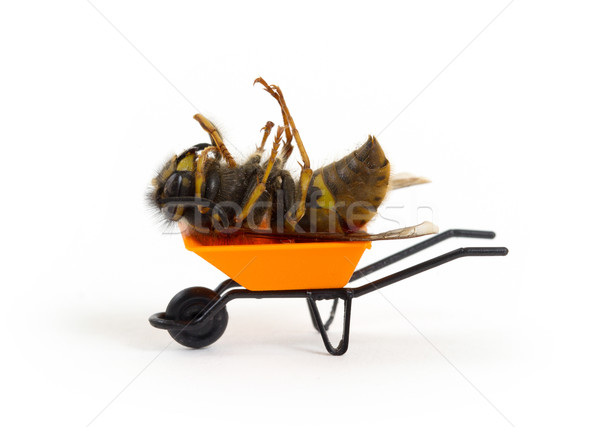 Morto vespa miniatura carrinho de mão abelha dor Foto stock © michaklootwijk