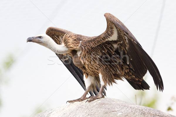 Stock photo: Adult condor