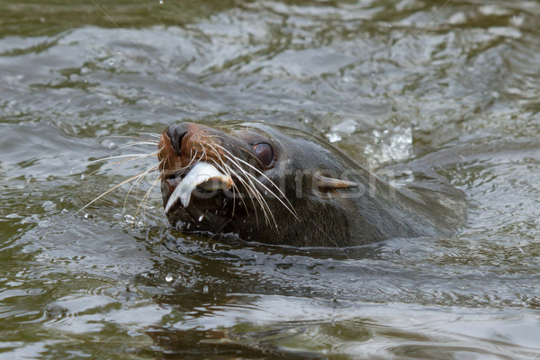 Sea lion in the water Stock photo © michaklootwijk