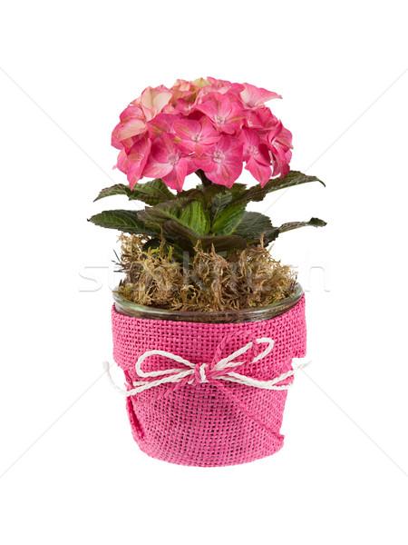 Pink flowers isolated Stock photo © michaklootwijk