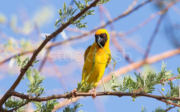 Déli citromsárga tenyésztés évszak Namíbia természet Stock fotó © michaklootwijk
