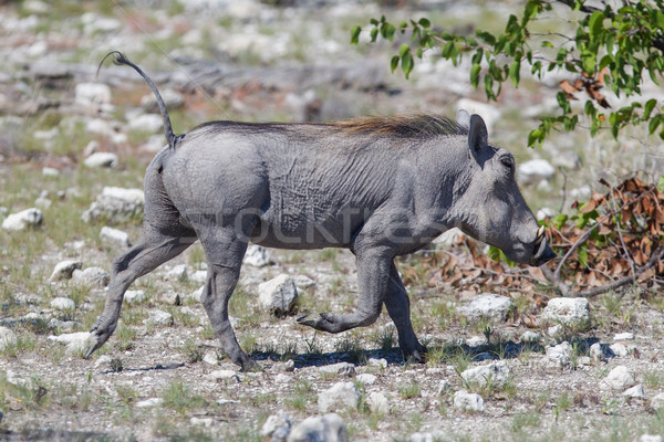 Warthog walking in Etosha National Park Stock photo © michaklootwijk