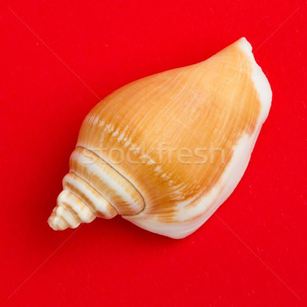 Brown seashell isolated Stock photo © michaklootwijk