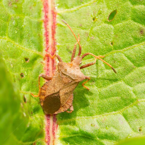 Oxalic bedbug  Stock photo © michaklootwijk