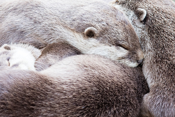 Stock photo: Lazy group of Asian small-clawed otter
