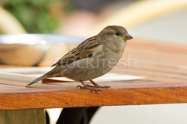 Sparrow on a table Stock photo © michaklootwijk