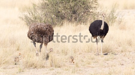 Stock photo: Male ostrich walking in the Namib desert