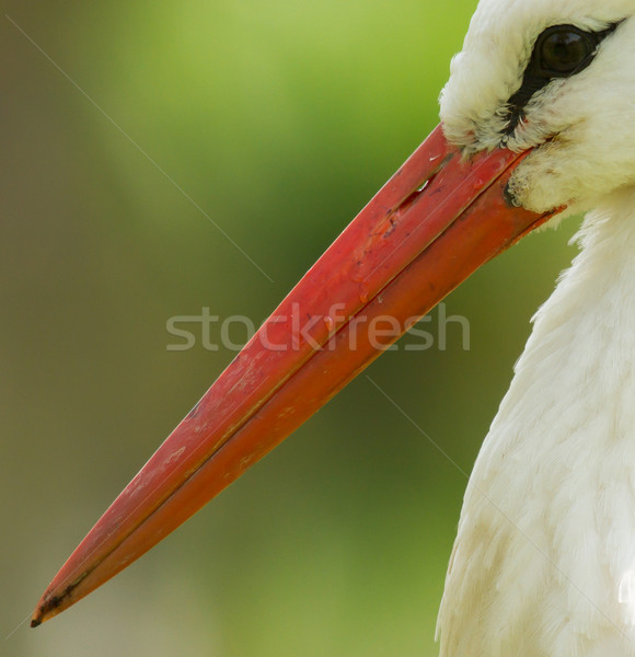 A close-up of a stork Stock photo © michaklootwijk