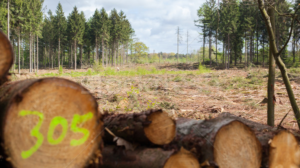 Stacked timber in a dutch forrest, selective focus Stock photo © michaklootwijk
