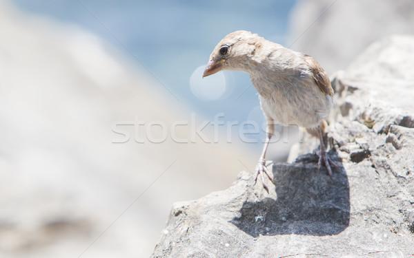 Młodych wróbel kamień Szwajcaria oka Zdjęcia stock © michaklootwijk