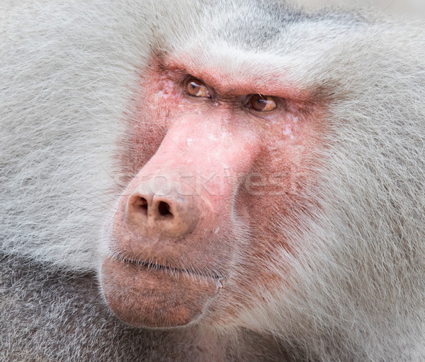 Close up portrait of male hamadryas baboon Stock photo © michaklootwijk