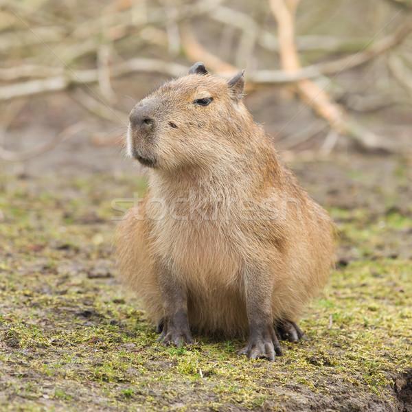 Capybara (Hydrochoerus hydrochaeris)  Stock photo © michaklootwijk