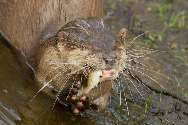 An otter is eating Stock photo © michaklootwijk