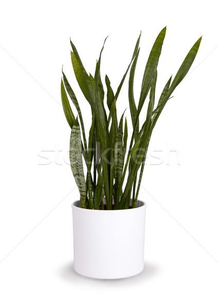 Large sansevieriya in a white pot Stock photo © michaklootwijk