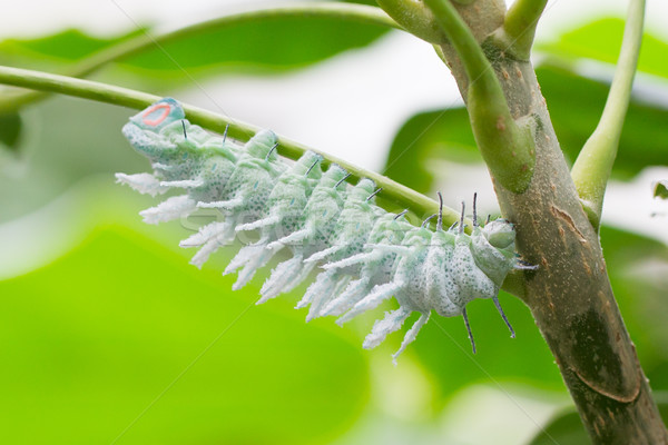Atlas lagarta árvore borboleta inseto Foto stock © michaklootwijk