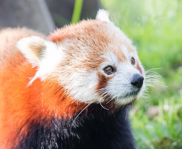 The Red Panda, Firefox or Lesser Panda Stock photo © michaklootwijk
