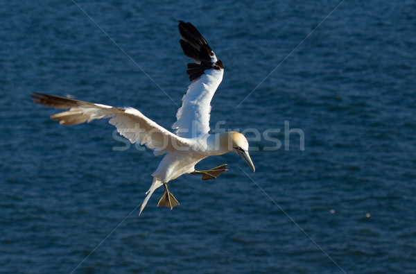 A flying gannet Stock photo © michaklootwijk