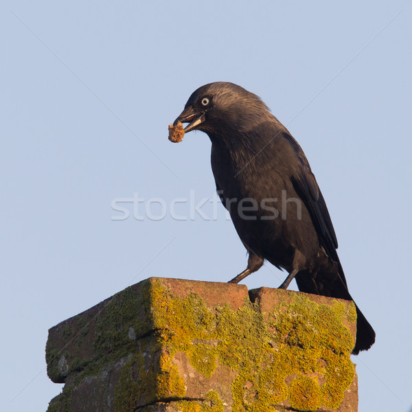 Stock photo: Daw (Corvus monedula) is eating a piece of bread