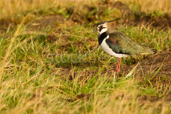 A lapwing in a field Stock photo © michaklootwijk