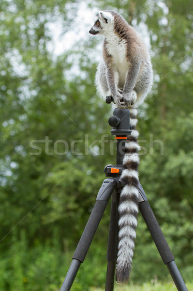 Stock photo: Ring-tailed lemur sitting on tripod