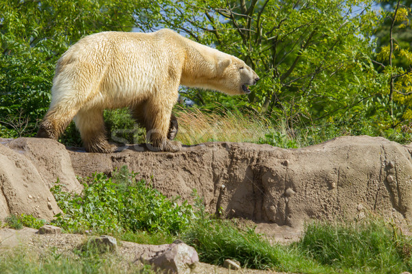 Close-up of a polarbear in capticity  Stock photo © michaklootwijk