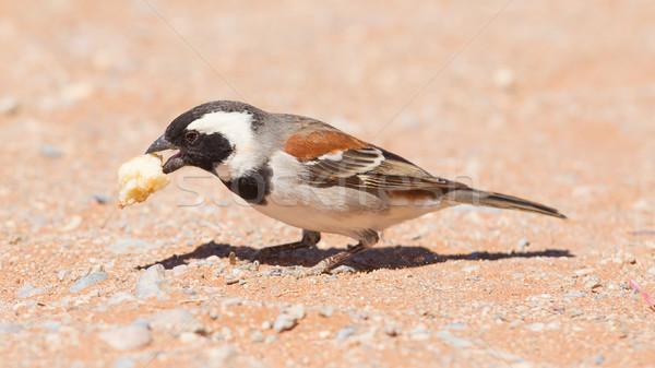 Pardal espécies Namíbia natureza deserto pena Foto stock © michaklootwijk