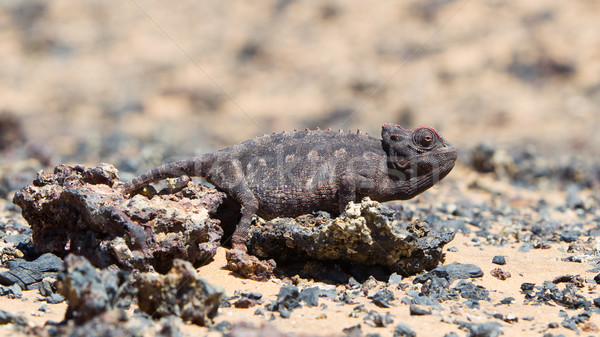 Namaqua Chameleon hunting in the Namib desert Stock photo © michaklootwijk