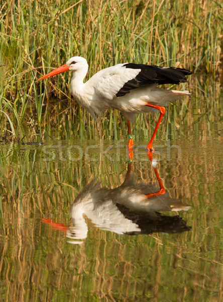 A stork Stock photo © michaklootwijk