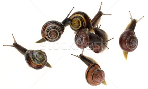 Group of garden snails (Helix aspersa)  Stock photo © michaklootwijk