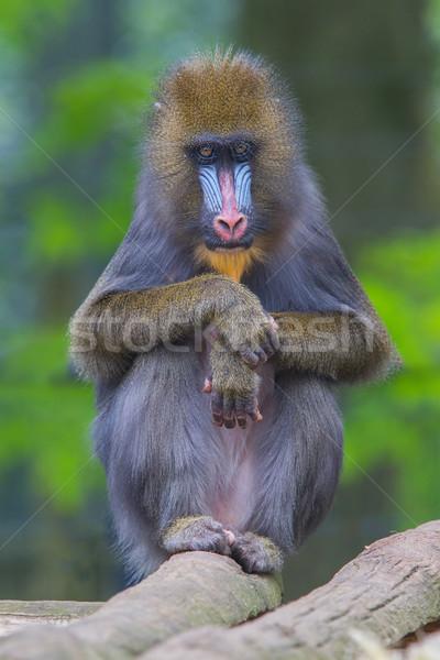 Portrait of the adult mandrill Stock photo © michaklootwijk
