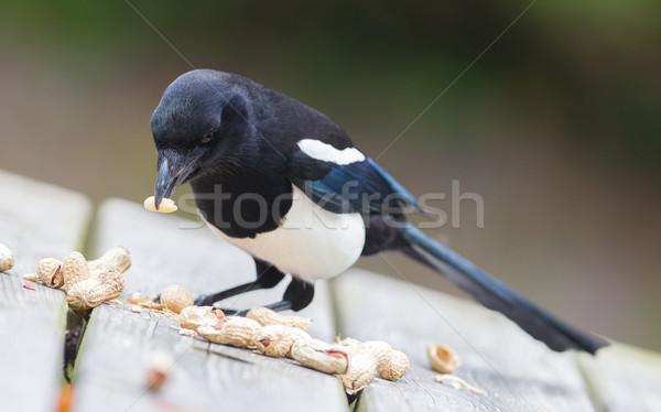 European Magpie (pica pica) Stock photo © michaklootwijk