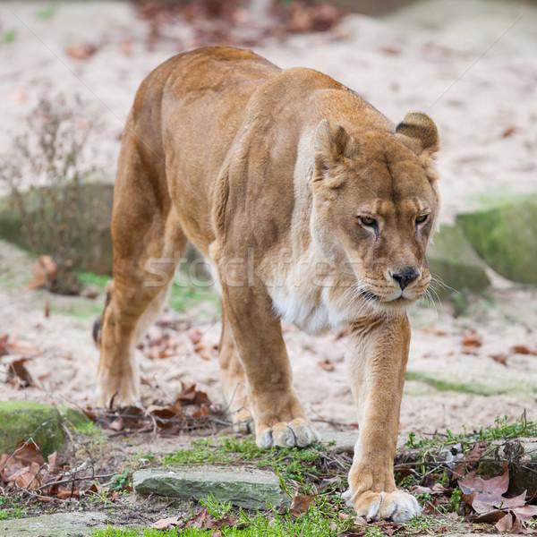 ライオン 警告 選択フォーカス 髪 動物 毛皮 ストックフォト © michaklootwijk