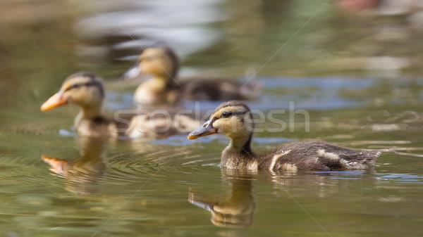 Kicsi szabadtér víz természetes élőhely tavasz Stock fotó © michaklootwijk