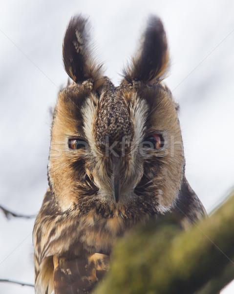 Longo coruja árvore natureza pássaro animal Foto stock © michaklootwijk