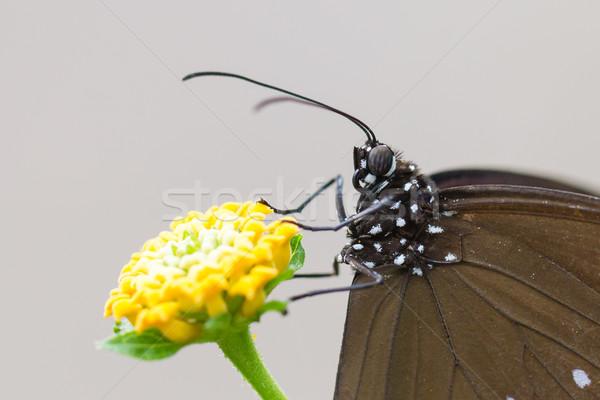 Butterfly resting (Euploea core) Stock photo © michaklootwijk